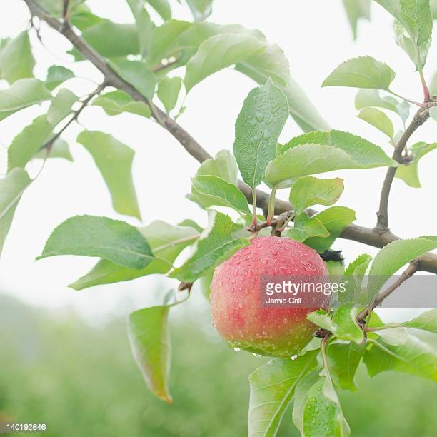 USA, New York, Warwick, Close up of apple on branch