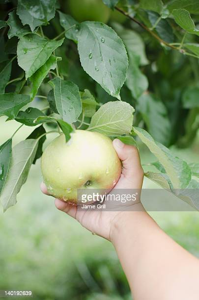 USA, New York, Warwick, Close up of girl's (8-9) hand picking apple