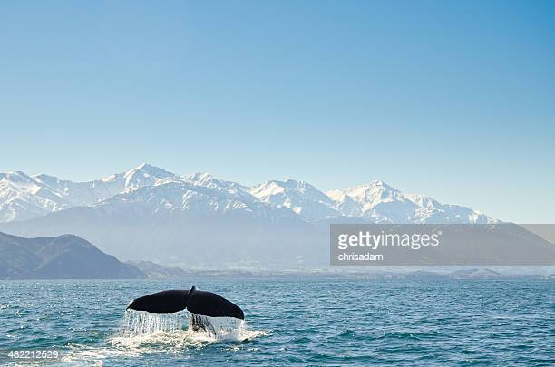 New Zealand, Canterbury, Kaikoura, View of whales tail fin