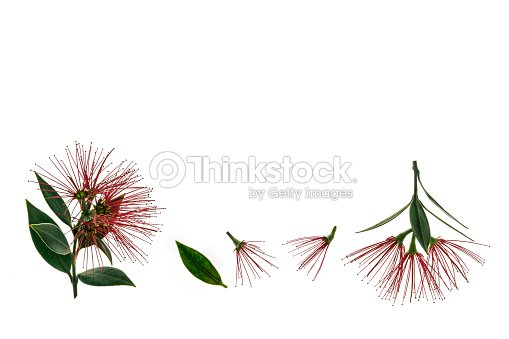 New Zealand Christmas Tree Flowers Isolated On White Background