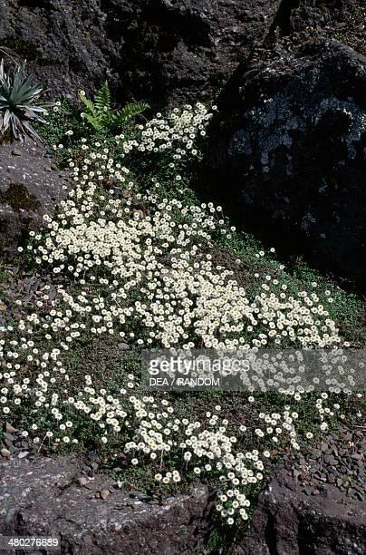 New Zealand everlasting daisy or Hells bells Asteraceae