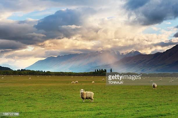 New Zealand Grassland