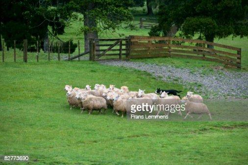 New Zealand, Kawakawa, Sheep show.  : Stock Photo