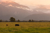 New Zealand natural landscape during sunrise with framing cow