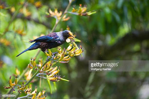 New Zealand North Island Near Wellington Karori Wildlife Sanctuary Tui On Flax Flower Feeding On Nectar