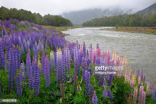 New Zealand Oceania South Island Fiordland National Park Lupines