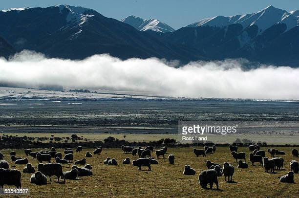 New Zealand Scenic Sheep graze near State Highway 73 near Arthur's Pass in North Canterbury in the South Island of New Zealand against a backdrop of...