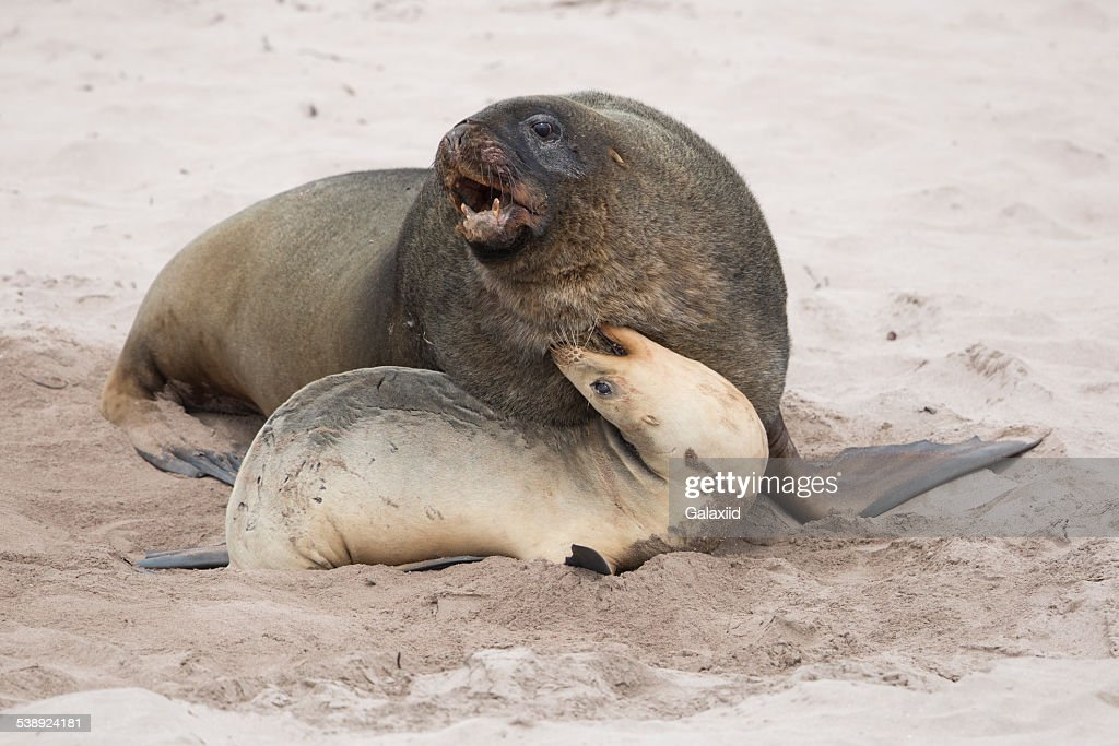 Sea lions mating - photo#9