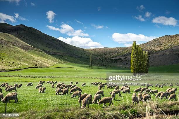 New Zealand Sheep Farmland