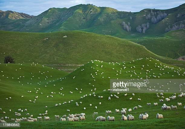 New Zealand, Sheep herd at Coromandel Peninsula