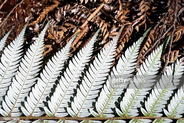 New Zealand Silver Fern (Punga)
