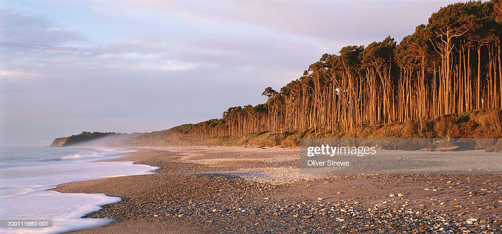 New Zealand, South Island, Bruce Bay, red pine forest lining beach