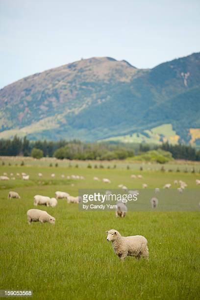 New Zealand the sheep colony