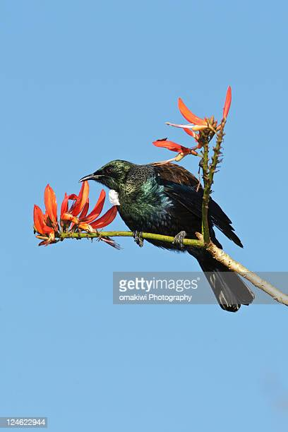 New Zealand tui bird