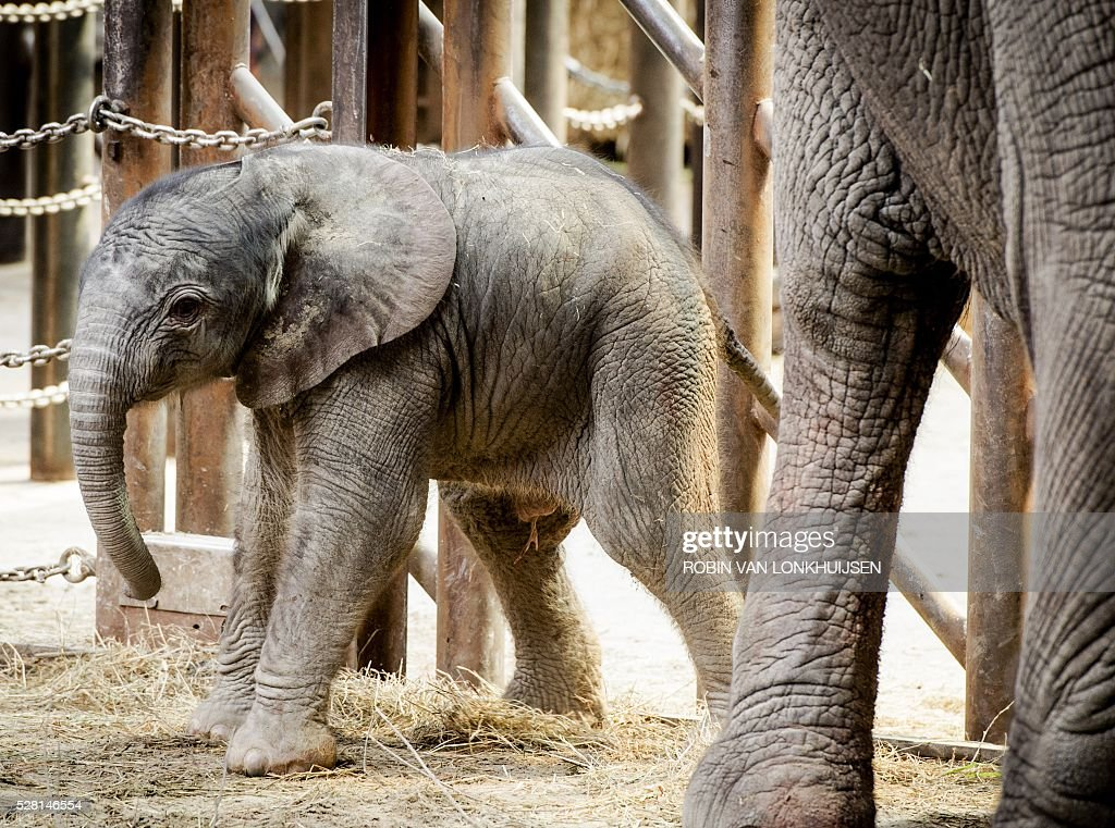 A newborn African elephant named Madiba takes his first steps in the Dutch zoo Safaripark Beerkse Bergen in Hilvarenbeek, on May 4, 2016. Madiba refers to the traditional clan name of the late South African leader Nelson Mandela. / AFP / ANP / Robin van Lonkhuijsen / Netherlands OUT