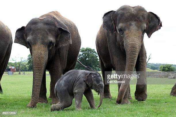 A newborn Asian elephant stands with other members of its herd at Whipsnade Wild Animal Park on July 28 2009 in Whipsnade England The 6 day old Asian...