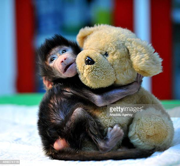 A newborn baboon cuddles a teddy bear at Gaziantep Zoo after its mom refused to have her at Gaziantep Zoo in Gazitantep Turkey on November 15 2014...