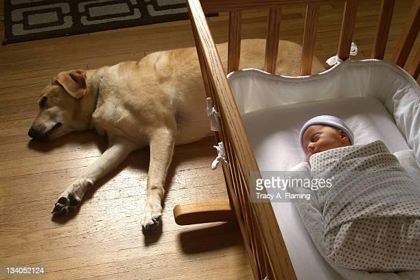Newborn baby and yellow labrador nap in sunlight