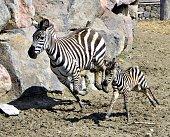 A newborn baby zebra runs at Izmir Wild Nature Park in Izmir district of Turkey on April 3 2015