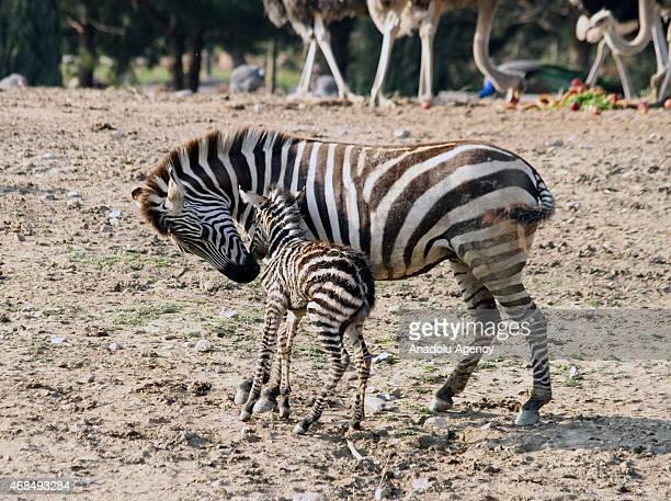 A newborn baby zebra stands next to its mother at Izmir Wild Nature Park in Izmir district of Turkey on April 3 2015