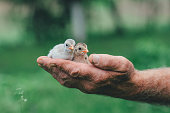 Chicks in the hand
