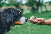 Puppy bernese mountain dog and chicks in the hand