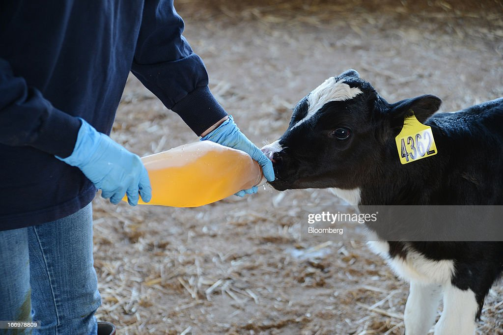 A newborn calf is fed colostrum, also known as first milk, from a nursing bottle at Pearson's Farm north of Moama, New South Wales, Australia, on Thursday, April 18, 2013. Farmers in Australia's A$4 billion ($4 billion) dairy industry are striking direct deals with supermarkets that control 80 percent of the country's grocery sector, as a drive to sell milk for A$1 a liter ($3.92 a gallon) squeezes profits. Photographer: Carla Gottgens/Bloomberg via Getty Images