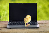 newborn chick on a computer on wooden table on green blur background