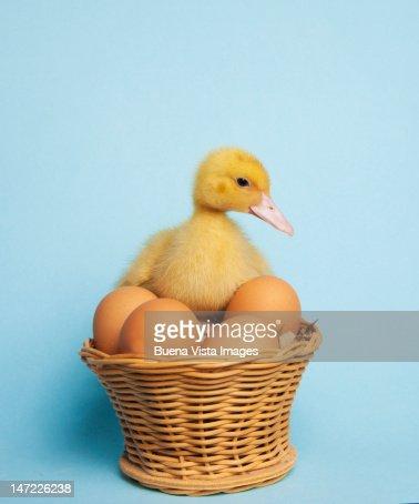 Newborn duck in an eggs basket : Stock Photo