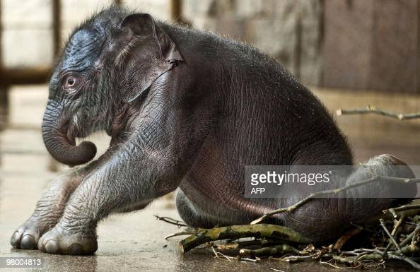 Newborn elephant baby 'Dimas' tries to get up in its enclosure on March 19 2010 at the Tierpark BerlinFriedrichsfelde zoo where it was born on March...