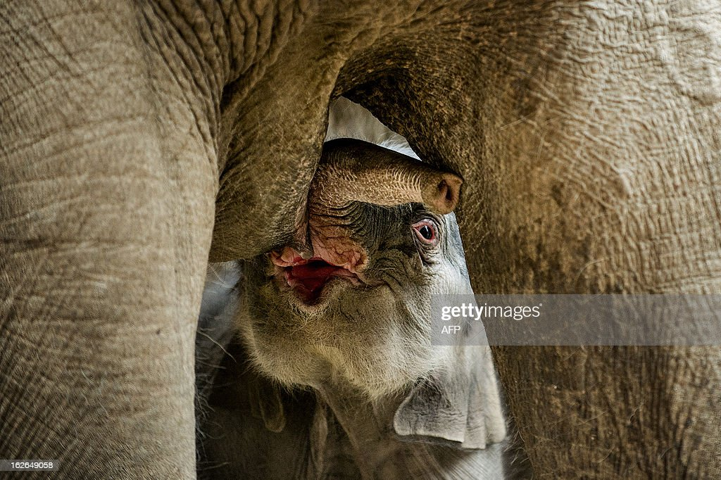 A newborn elephant drinks milk of its mother in the zoo of Copenhagen on February 25, 2013. The unnamed elephant was born early this morning.
