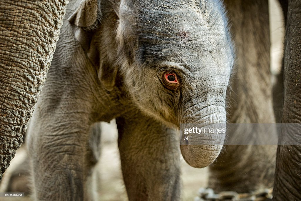 A newborn elephant is pictured in the zoo of Copenhagen on February 25, 2013. The unnamed elephant was born early this morning.