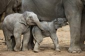 A newborn elephant stands next to his mother 'Kandy' and six months old female elephant 'Anjuli' at the Tierpark Hagenbeck zoo in Hamburg northern...
