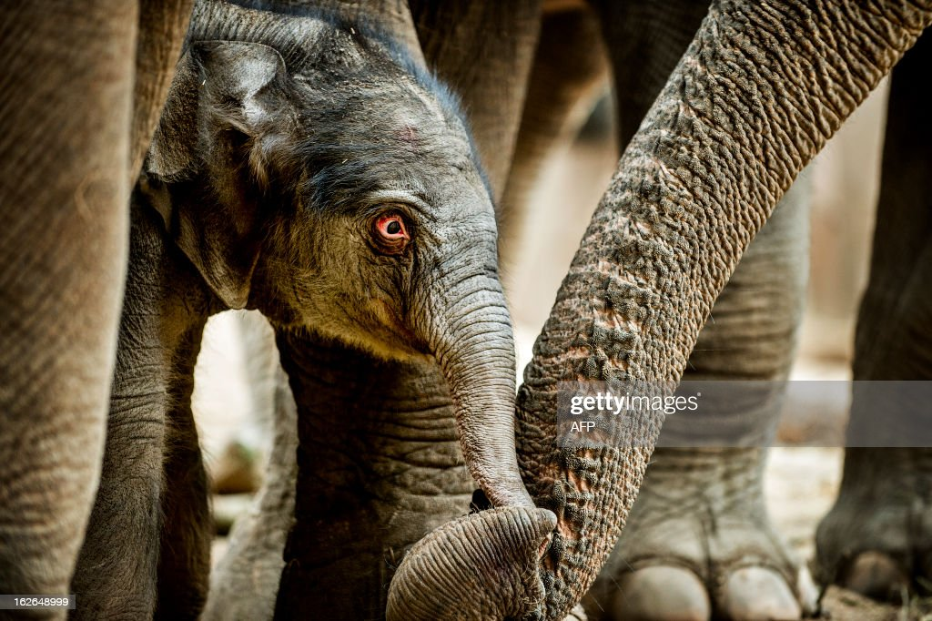 A newborn elephant touches the trunk of mother Kungraos in the zoo of Copenhagen on February 25, 2013. The unnamed elephant was born early this morning.