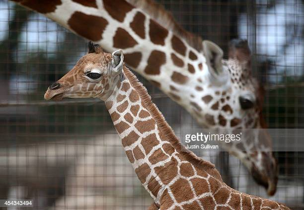 A newborn giraffe calf stands in its enclosure at the San Francisco Zoo on August 29 2014 in San Francisco California The San Francisco Zoo is...