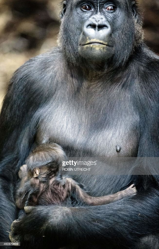 New-born gorilla NAikais is held in the arms of its mother in Burgers Zoo in Arnhem, The Netherlands, on November 28, 2013. AFP PHOTO/ ANP ROBIN UTRECHT netherlands out