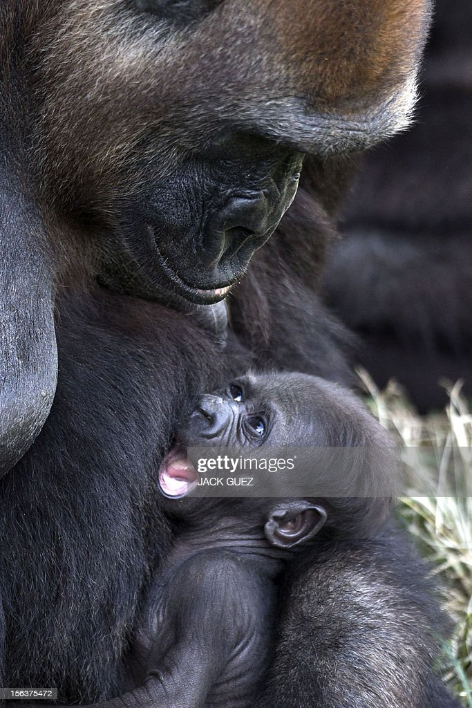 A newborn gorilla, named Amelia, rests in the arms of her mother, Anya, at the Ramat Gan Safari, an open-air zoo near Tel Aviv, on November 14, 2012. The baby gorilla, which was born two weeks ago, weighs approximately two kilograms. AFP PHOTO / JACK GUEZ