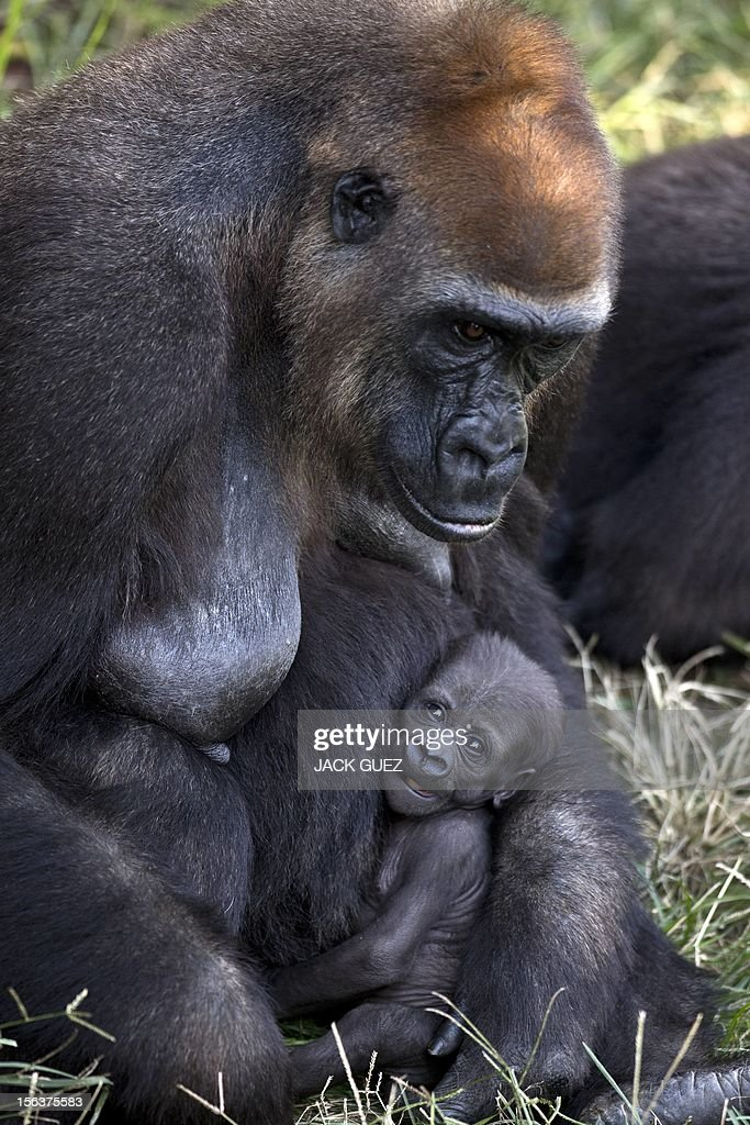 A newborn gorilla, named Amelia, sits in the arms of her mother, Anya, at the Ramat Gan Safari, an open-air zoo near Tel Aviv, on November 14, 2012. The baby gorilla, which was born two weeks ago, weighs approximately two kilograms.