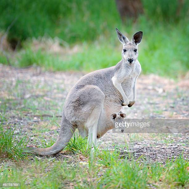 Newborn Kangaroo peaking out of Mother's Pouch