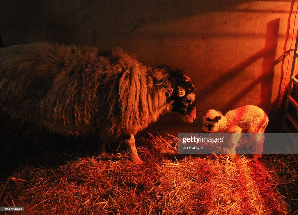 A newborn lamb and its mother are kept warm under a heat lamp on a farm in the hamlet of Barras on March 27, 2013 near Kirkby Stephen, Cumbria, England. Stuart Buckle, 23, runs Bleathgill Farm with his father Wilf and as heavy snow continues to fall, extra effort is needed to look after and protect their Swaledale sheep from the cold. Across the UK, farmers are battling to save livestock after heavy snow and freezing temperatures has left thousands of sheep and cattle stuck in the fields with no access to food and fresh water.