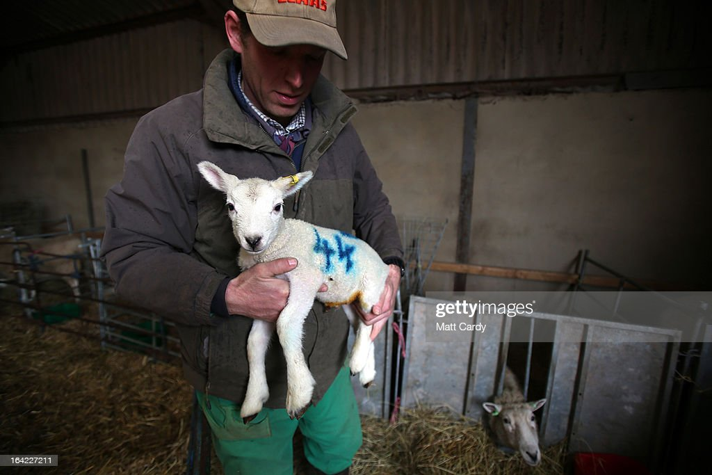 A newborn lamb is picked up in a barn on a farm in the Wiltshire village of Edington, on March 21, 2013 near Westbury, England. Despite the poor weather the lambing season, which normally runs from February to May, is well under way and many farmers across the UK are on the lookout for signs in their flocks of Schmallenberg disease, a virus that can result in congenital disorders and stillbirths when infection takes place during the early stage of pregnancy.