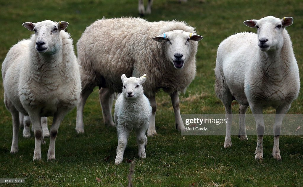 Newborn lambs and their mothers graze in a field on a farm in the Wiltshire village of Edington, on March 21, 2013 near Westbury, England. Despite the poor weather the lambing season, which normally runs from February to May, is well under way and many farmers across the UK are on the lookout for signs in their flocks of Schmallenberg disease, a virus that can result in congenital disorders and stillbirths when infection takes place during the early stage of pregnancy.