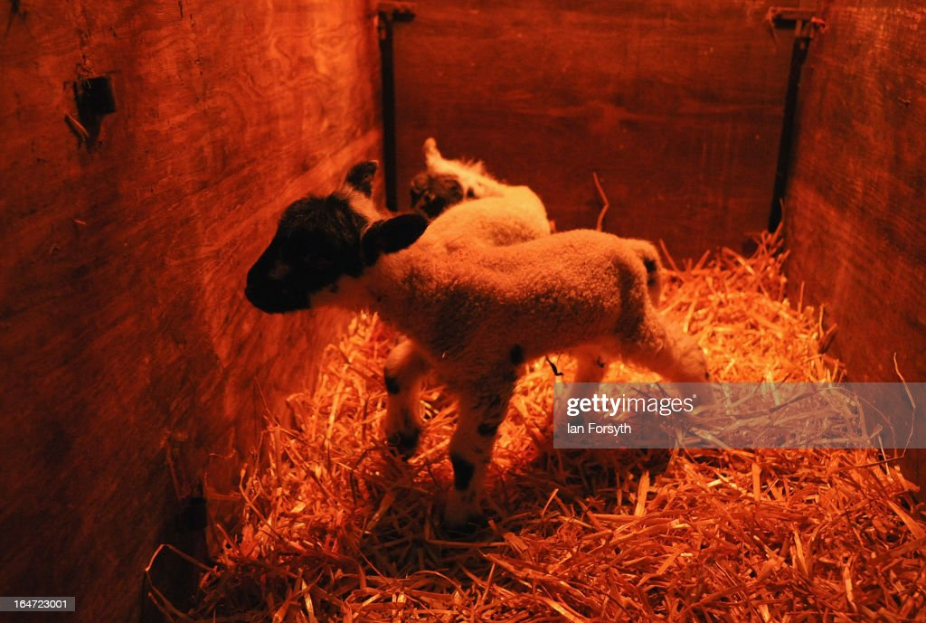 Newborn lambs are kept warm under a heat lamp on a farm in the hamlet of Barras on March 27, 2013 near Kirkby Stephen, Cumbria, England. Stuart Buckle, 23, runs Bleathgill Farm with his father Wilf and as heavy snow continues to fall, extra effort is needed to look after and protect their Swaledale sheep from the cold. Across the UK, farmers are battling to save livestock after heavy snow and freezing temperatures has left thousands of sheep and cattle stuck in the fields with no access to food and fresh water.
