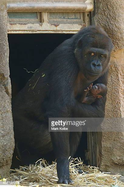 A newborn male baby gorilla is seen with his mother Mbeli in the Western Lowland Gorilla enclosure at Taronga Zoo on October 31 2014 in Sydney...
