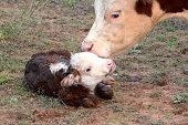 Newborn Miniature Hereford Calf