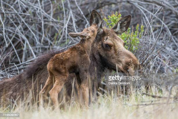 Newborn moose (Alces alces) calf nuzzling mother in willow patch, Sublette County, Wyoming, USA