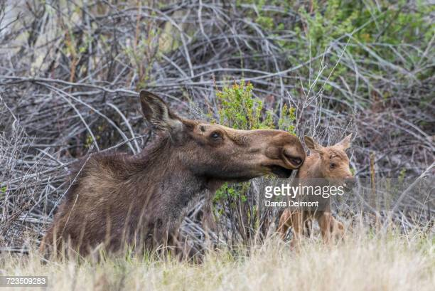 Newborn moose (Alces alces) calf trying to stand with mother nuzzling for encouragement, Sublette County, Wyoming, USA