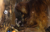A newborn Orangutan baby is held by her 12yearold mother Jula from Munich's Zoo on December 1 2014 in the monkeyhouse at Budapest Zoo in the...