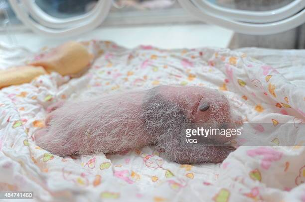 YA'AN CHINA AUGUST 21 A newborn panda cub is seen at Ya'an Base on August 21 2015 in Ya'an Sichuan Province of China Ten newborn panda cubs born in...