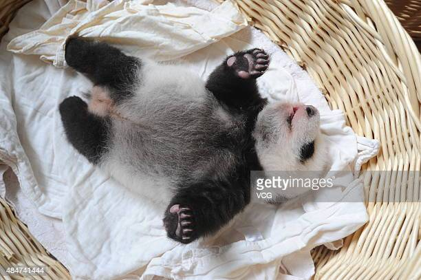 YA'AN CHINA AUGUST 21 A newborn panda cub lies in a basket at Ya'an Base on August 21 2015 in Ya'an Sichuan Province of China Ten newborn panda cubs...